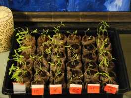 Heirloom tomato seeds sprouted quickly.