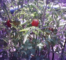 A black plum heirloom tomato plant just beginning to fruit a couple summers back.