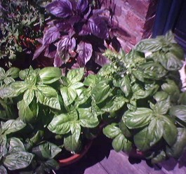 I get a little crazy when it comes to basil, note the pot of the purple variety (top).