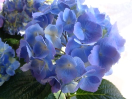 This hydrangea is blue, but some petals are replete with hints of purple.