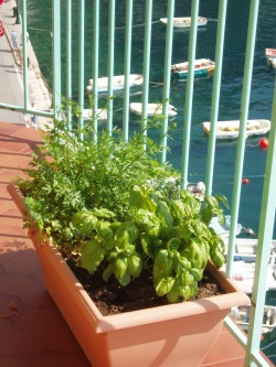 Well, actually, I got several photos of happy herbs with a view of the Mediterranean.