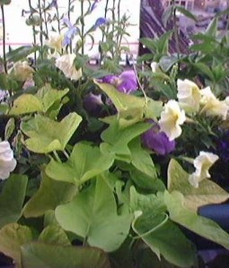 The sweet potato vine is a nice trailing plant for containers.