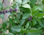 I remove the flowers that form on herbs like this Thai basil periodically.